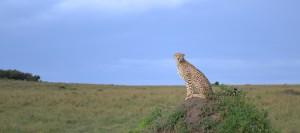 Gepard spanar ut över savannen